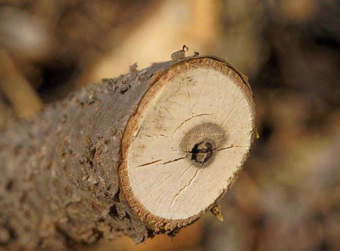 При покупке и посадке саженцев смородины необходимо провести их тщательный осмотр на предмет присутствия вредителя.