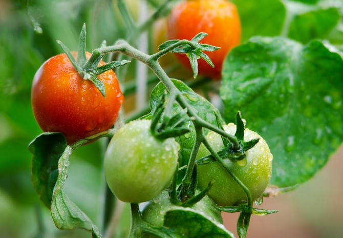 Детерминантные и индетерминантные сорта томатов