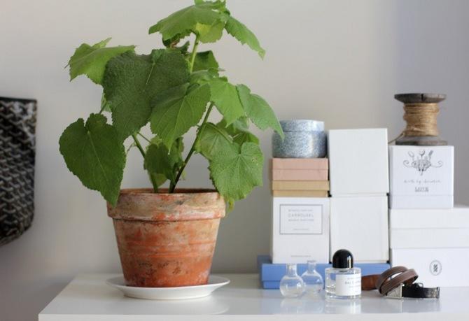 Спармания – комнатная липа. Уход в домашних условиях. Выращивание, пересадка и размножение спармании