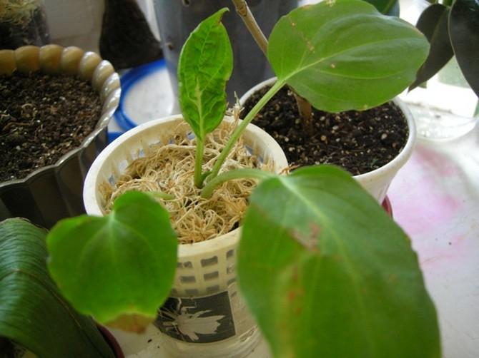 Размножение цветка такки