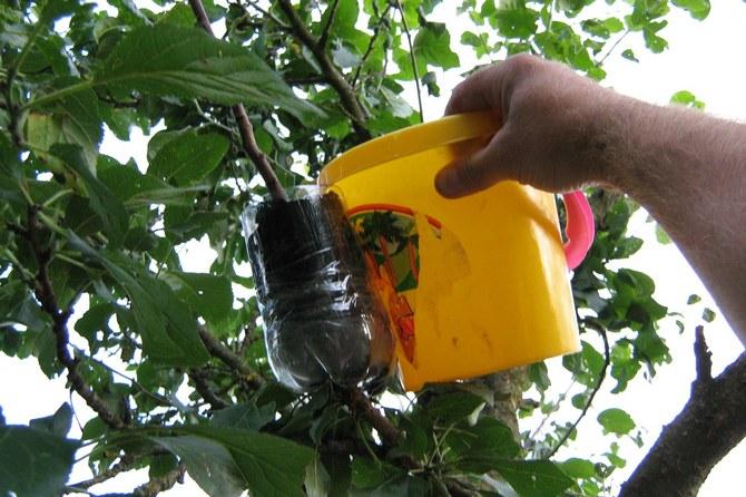 Для укоренения отводка необходима емкость с почвой. Можно воспользоваться обычной полуторалитровой пластиковой бутылкой