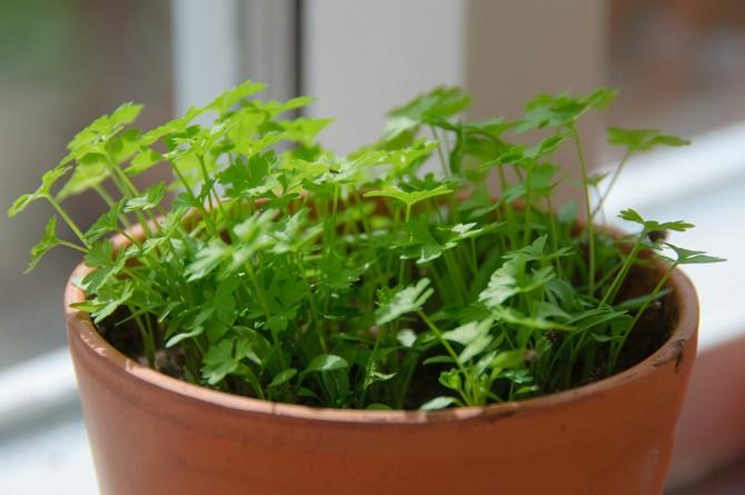 Выгонка зелени петрушки и сельдерея