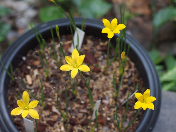 Для зефирантеса идеально подойдет рыхлая, питательная и нейтральная почва.
