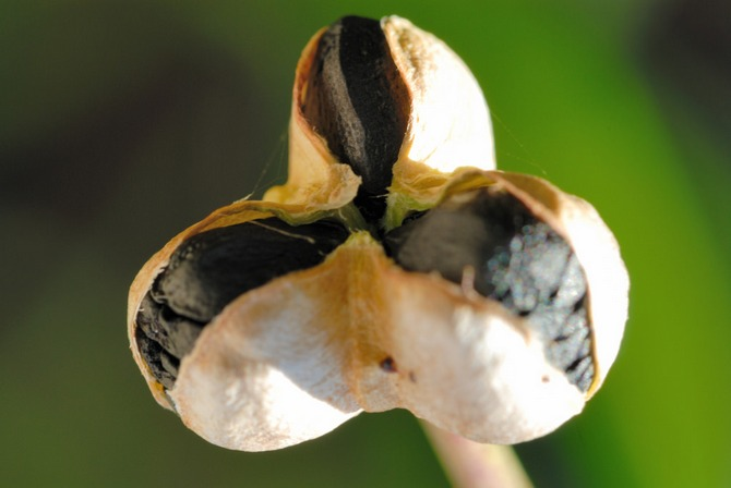 Размножение зефирантеса