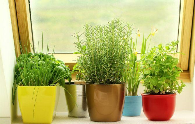 Выгонка зелени петрушки, сельдерея, свеклы в домашних условиях