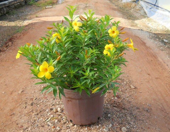 Для подкормки алламанды подходит универсальное удобрение для комнатных растений
