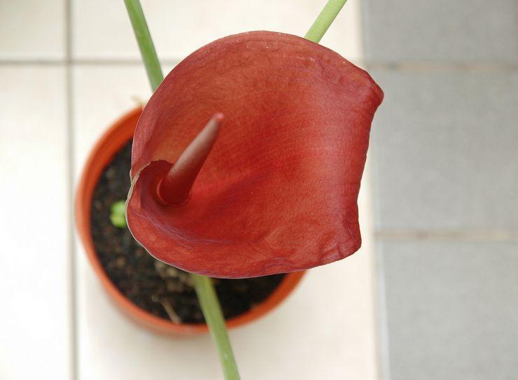 Цветение аморфофаллуса