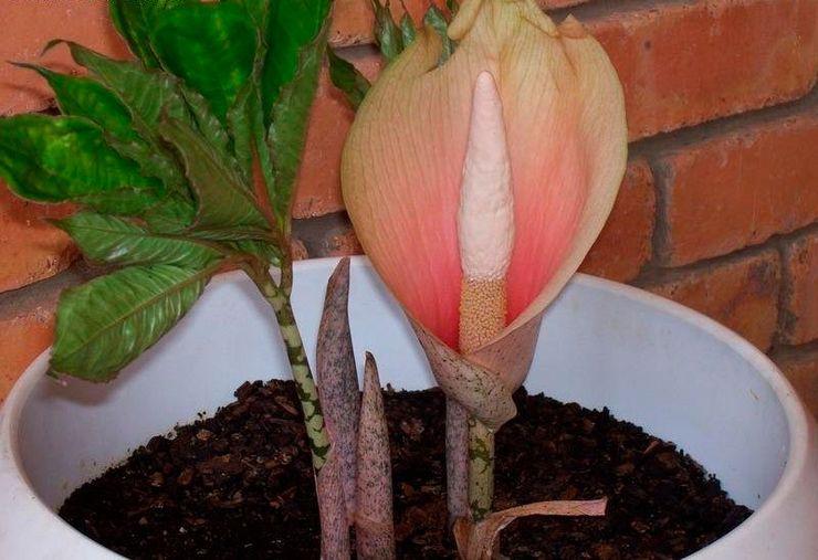 Выращивание аморфофаллуса