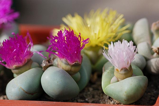 Отличительной особенностью растения является хорошая переносимость им сухого воздуха.