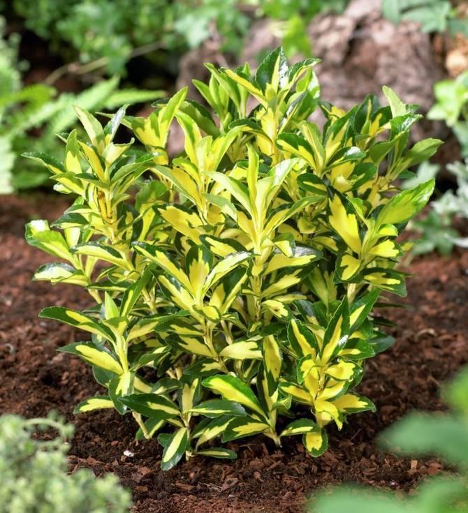 В домашних условиях растения выращивают в открытом уличном грунте.