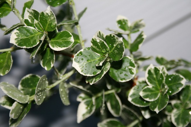 Из-за своих кожистых листочков бересклет хорошо сохраняет влагу и может содержаться в сухом климате квартир