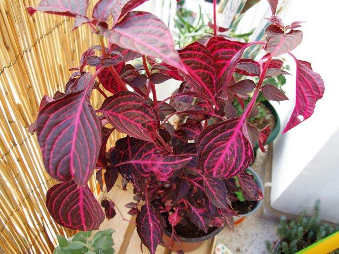 Растение ирезине может спокойно переносить сухой воздух в квартире.