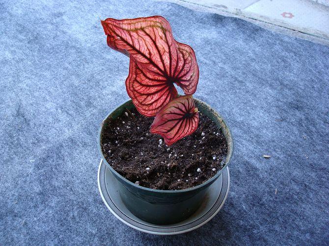 Субстрат для выращивания каладиума лучше приготовить самостоятельно в домашних условиях