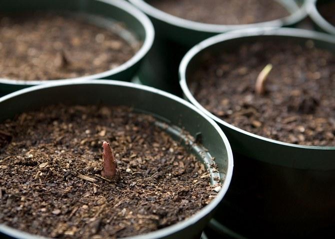 Размножение каладиума