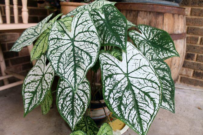 Сухой воздух за короткий промежуток времени приведет к гибели растения.