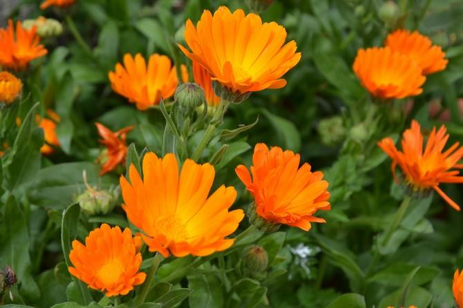 Это лекарственное растение является прекрасным сидератом для многих овощных культур и часто используется в совместных посадках