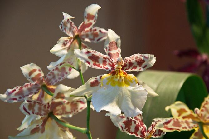 Орхидея Камбрия – уход в домашних условиях