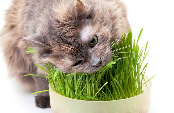 Для котов можно выращивать специальную кошачью траву или мяту