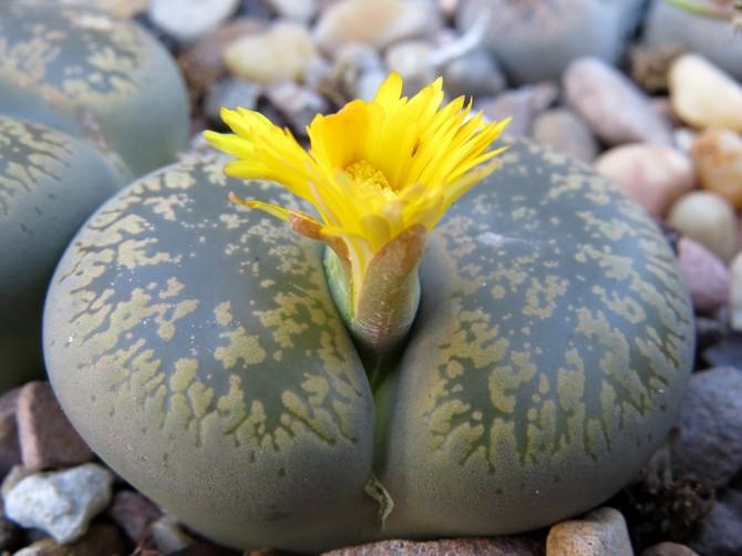 Литопсы – живые камни. Уход в домашних условиях. Выращивание литопсов, пересадка и размножение. Фото