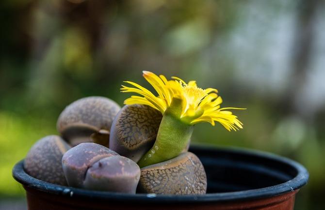 Литопсы представляют собой маленькие растения, состоящие из срощенных друг с другом толстых листов