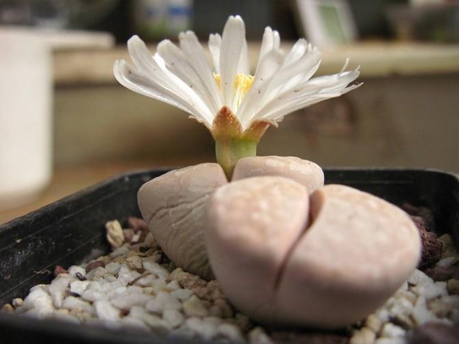 Растение можно подкармливать любым удобрением для кактусов.