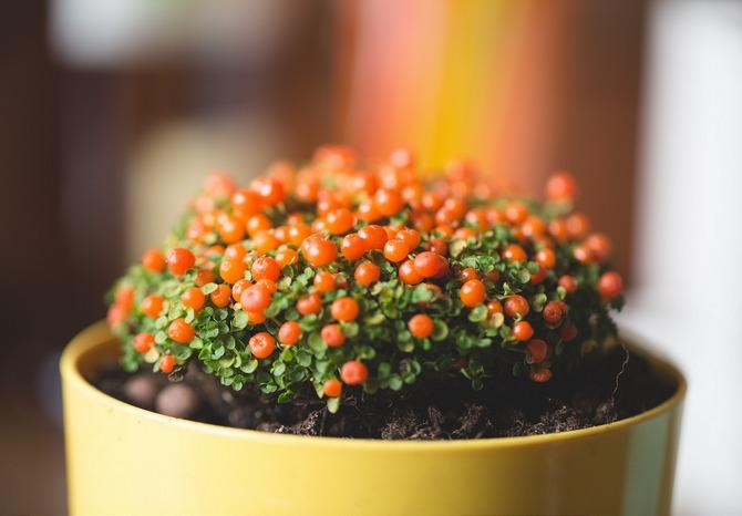 Нертера хорошо развивается в рыхлой, хорошо удерживающей влагу, почве.