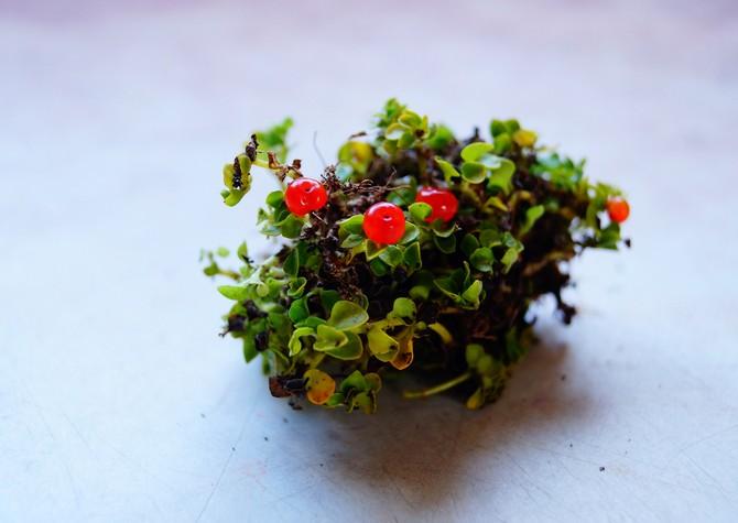 Размножение цветка нертеры