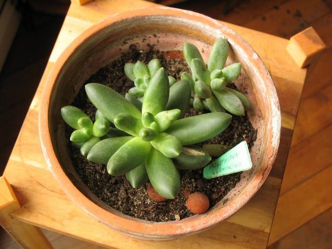 Пахифитум удобряют только летом, используя минеральные составы для кактусов