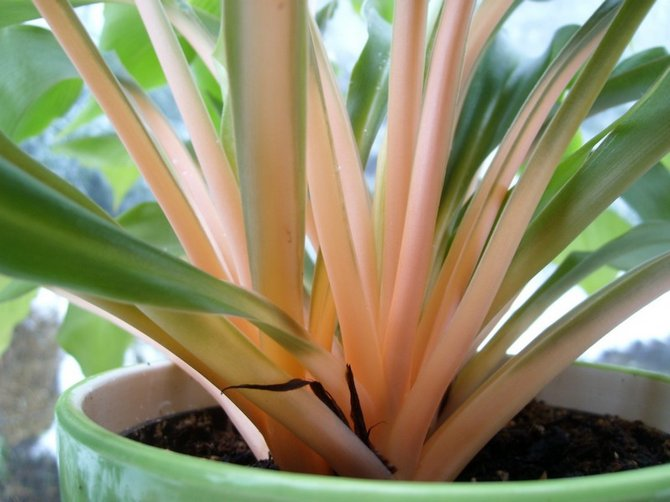 Как и любое комнатное растение палисота нуждается в регулярном удобрении.