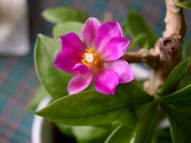 Переския (32 фото): разновидности шиповатая и Годсеффа, уход за листовым кактусом в домашних условиях