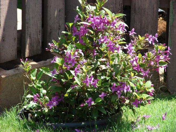 Рост растения очень быстрый, поэтому псевдэрантемум нуждается в ежегодной пересадке