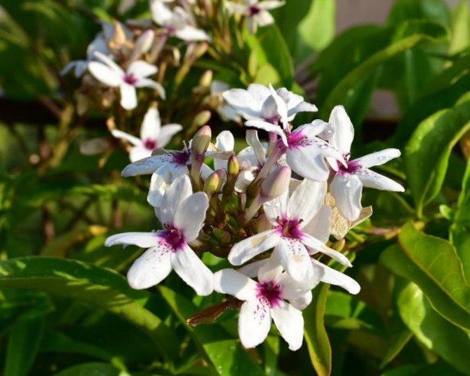 Цветок псевдэрантемум любит повышенную влажность воздуха в помещении