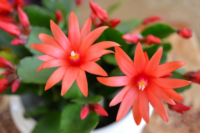 Рипсалидопсис ценится за прекрасное цветение.