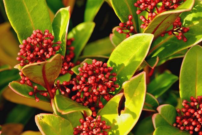 Это растение имеет декоративный вид на протяжении всего сезона.
