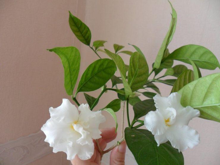 Цветение табернемонтаны