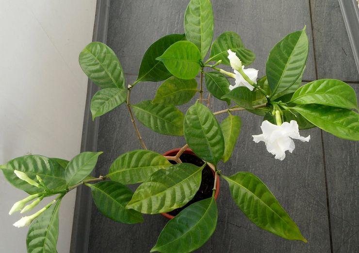 Выращивание табернемонтаны