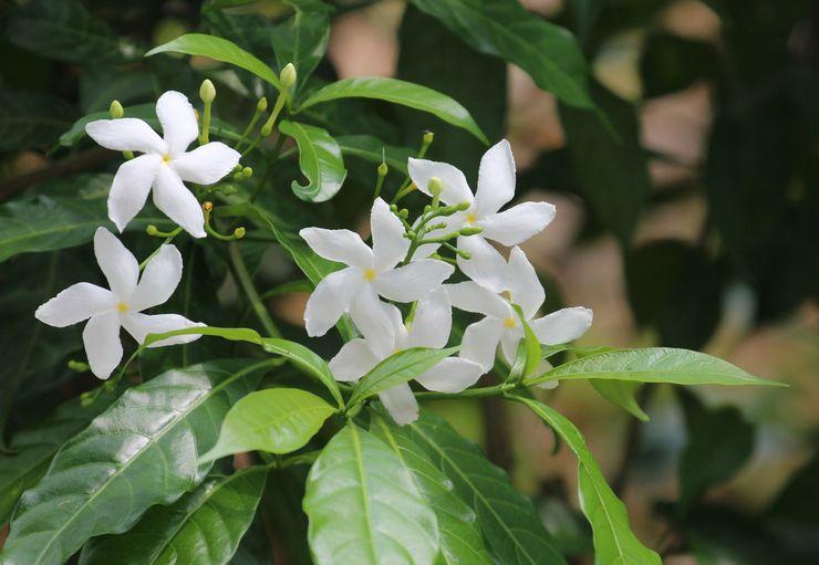 Растение табернемонтана