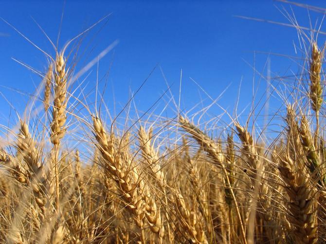 Ячмень можно высаживать в тех районах, где редко бывают осадки, он выдержит любую засуху.