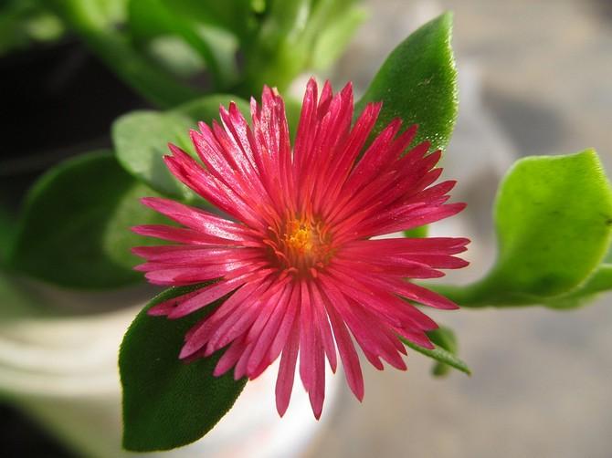Аптения — одно из немногих растений, которое легко можно выращивать при сухом воздухе в помещении.