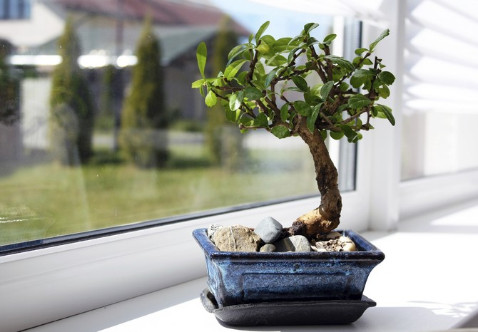 Как посадить и вырастить карликовое дерево бонсай в домашних условиях.