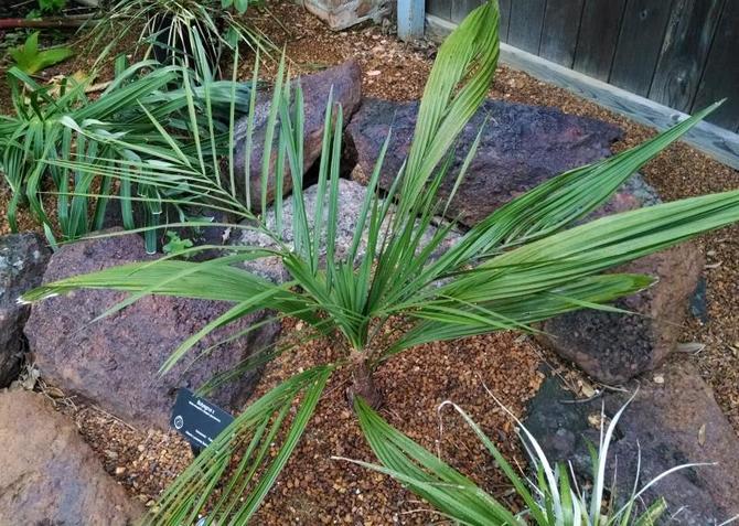 Почва для посадки пальмы должна быть хорошо водо- и воздухопроницаемой