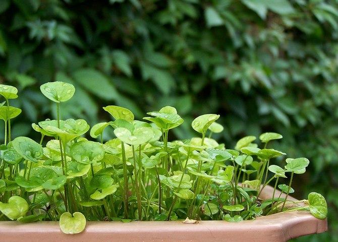 Дихондра может расти в помещениях с низким уровнем влажности воздуха