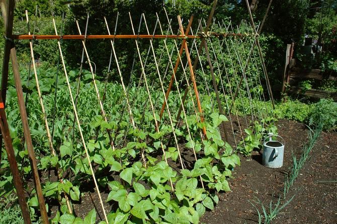 Выращивание спаржевой фасоли в огороде