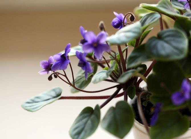 Весной и летом геснерия находится в стадии активного роста, поэтому полив в это время должен быть обильным.