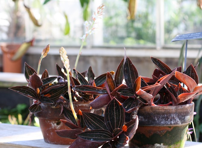 Лудизия – уход в домашних условиях. Выращивание орхидеи лудизии, пересадка и размножение. Описание, виды. Фото