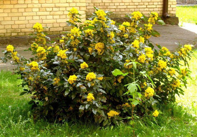 Популярна вечнозеленая магония в качестве живой изгороди