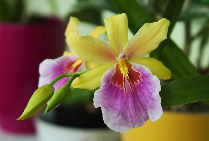 Мильтония – уход в домашних условиях. Выращивание орхидеи мильтонии, пересадка и размножение. Описание, виды. Фото