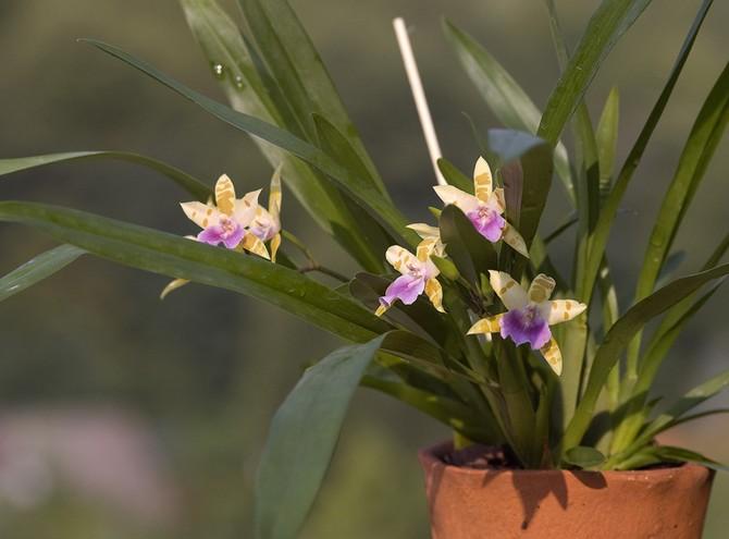 Мильтония будет хорошо расти и радовать своим цветением при достаточно высоком уровне влажности воздуха — около 60-80%.