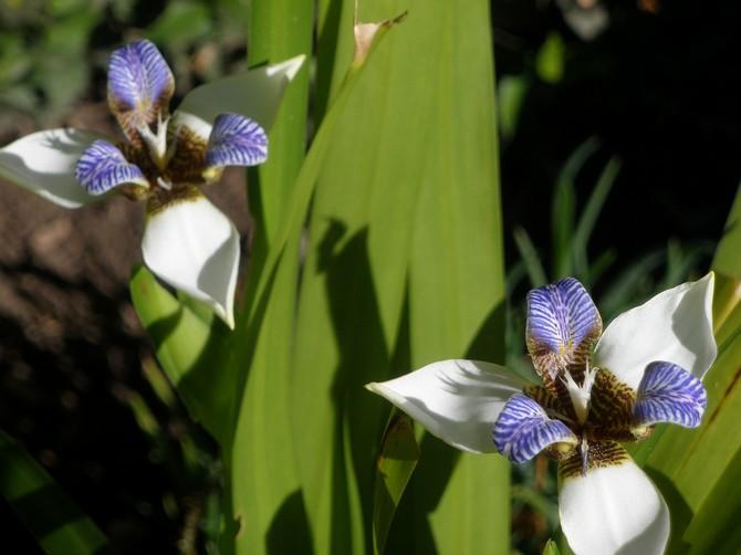 Неомарика хорошо растет и развивается в помещении со средним уровнем влажности воздуха.