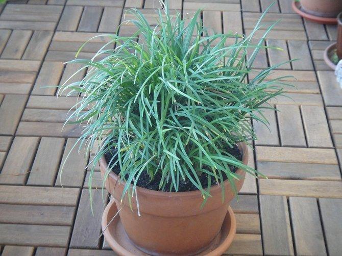 Растение хорошо реагирует на опрыскивание отстоянной водой комнатной температуры
